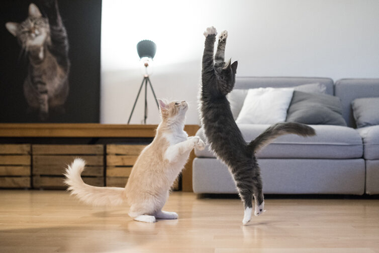 Ginger and white cat, and grey and white cat playing in living room